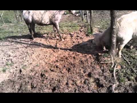 Xxx Mp4 Bull Mounts Horse 3gp Sex