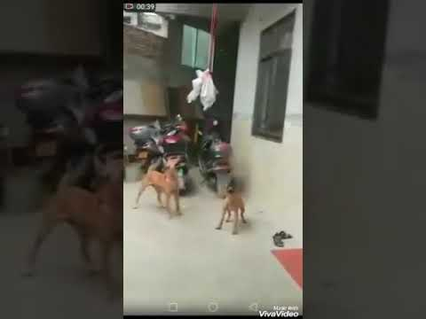 Xxx Mp4 Baba Ram Rahim Ke Kutte Gor Is Video Ko Dekhe 3gp Sex