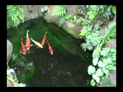 How to make a green water pond a transparent water pond.(The problem of your koi pond is solved.)