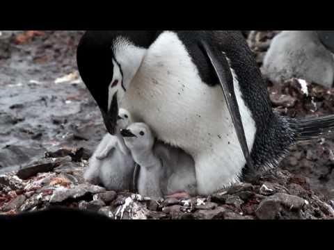 Chinstrap Penguin Feeding Chicks in Half Moon Island, South Shetland Islands - Antarctica