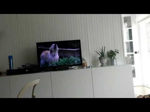 Puppy Barks When Dog Barks on TV