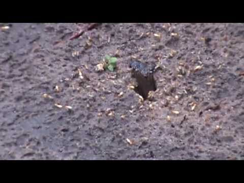 Flying Termites Coming Out From Underground After Rain