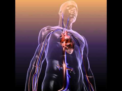 3D Model of Circulatory System Anatomy In A Human Body