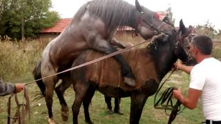 Baron 4 years old , father percheron mother Ardennes horse