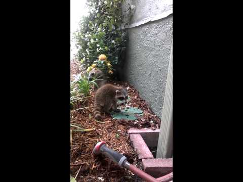 Cute baby racoons! (with rabies,probably)