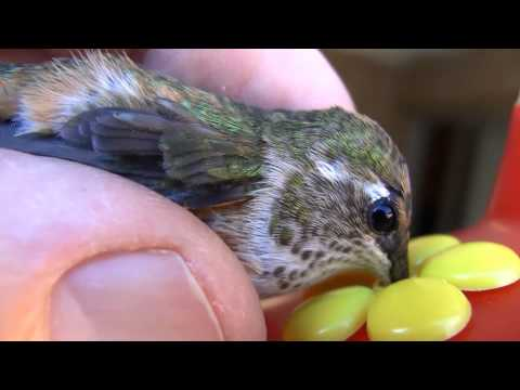 Hummingbird rescued and released  - 2nd video of confused Anna's hummingbird