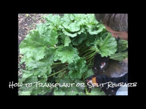 How to Transplant Rhubarb
