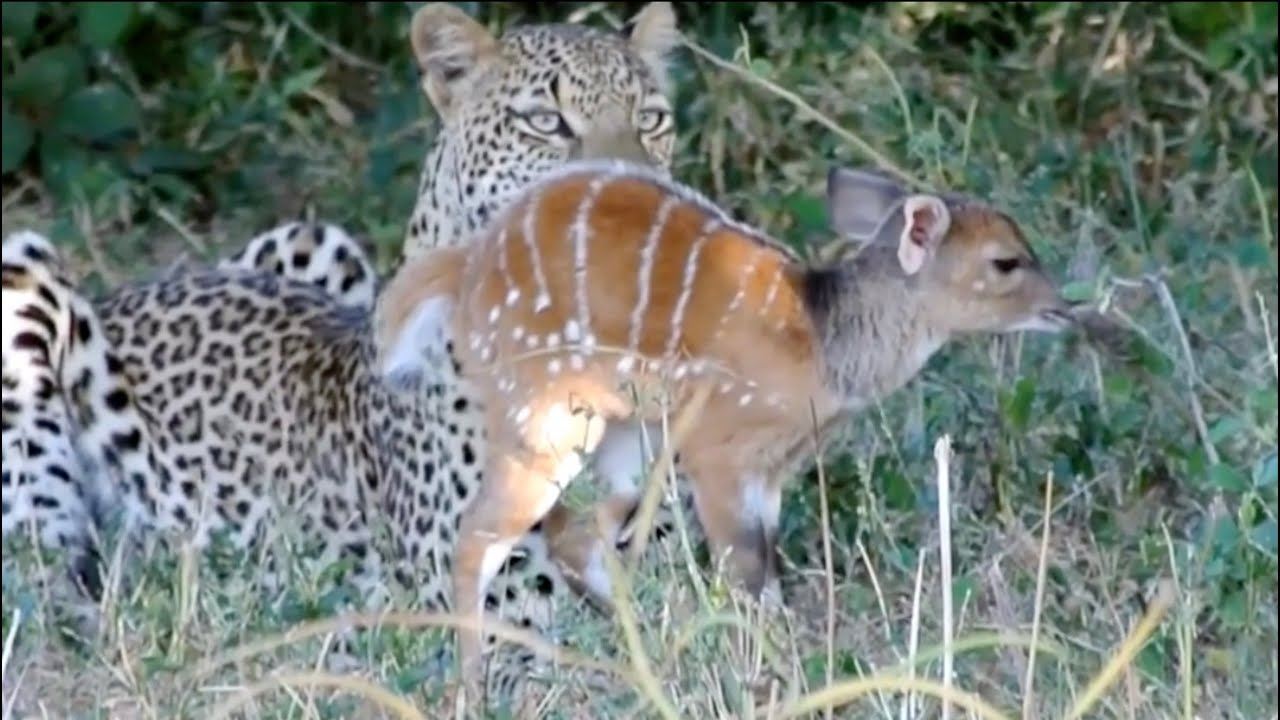 The Last Moments of A Baby Buck Before Get Killed...!