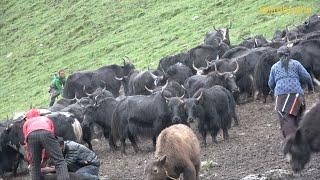 the yak farm    Nepal    dolpa    lajimbudha   