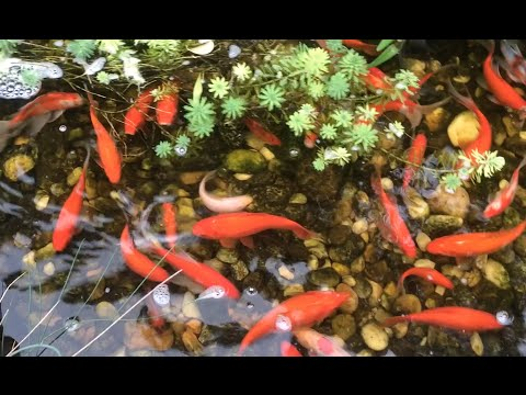 Koi fish pond at the backyard with waterfall