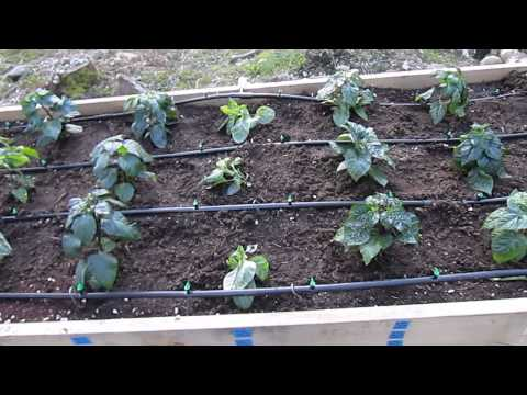 Raised Beds w/ Drip Irrigation: Peppers Super Hots and More 4/18
