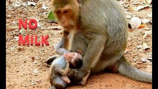 Baby monkey Lucas is crying because mom is weaning milk | Lucas begs mom for milk