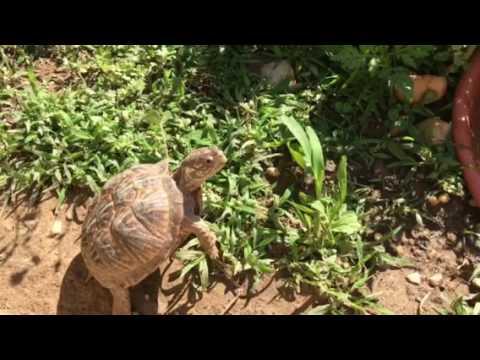 Sunday morning walk about at Backyard tortoise Part 1