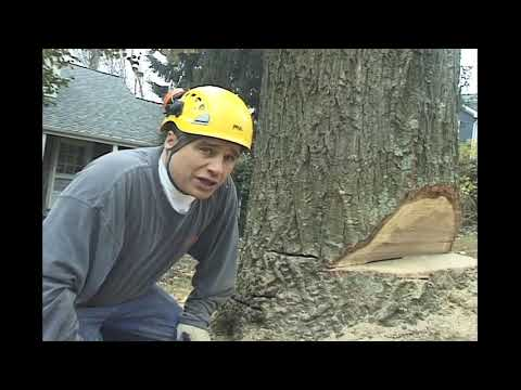 knox rd oak stump cut