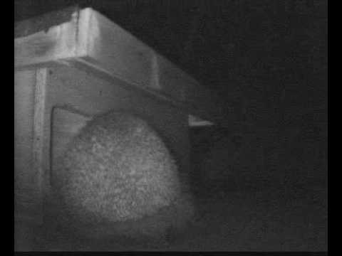 hedgehog coming to feed in box