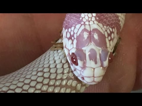 My Snake Is Eating Itself! | BRIAN BARCZYK