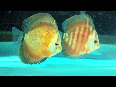 Digital Heater can prevent Discus Fish Sickness