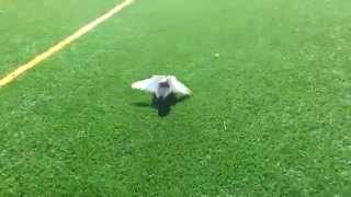 Ground Roller Pigeon - PakVim net HD Vdieos Portal