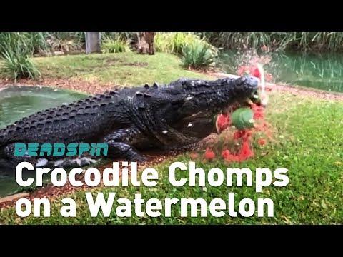 Crocodile Chomps on a Watermelon