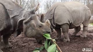 Celebrating Cinco De Rhino With Our Greater One-Horned Rhinos