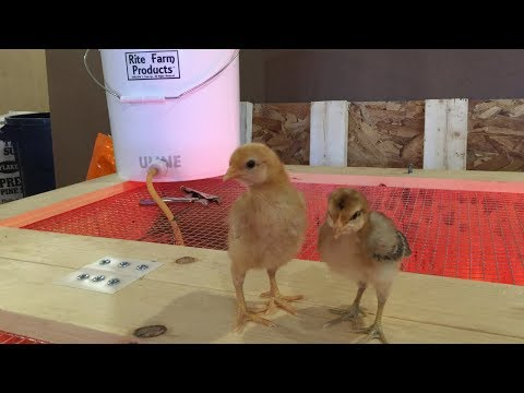 Homestead Update Chicks, Pigs, Maple Sap and Syrup