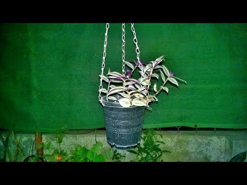 Making Hanging Pot for Hanging Plant | Wandering Jew