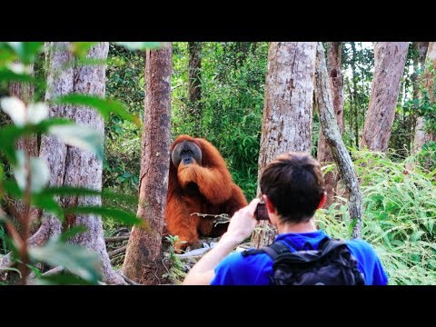 Xxx Mp4 A HUGE Orangutan Interrupted Our Trek Sumatra Jungle Trek DAY 2 3gp Sex