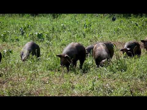 Pig Nutrition: Deciding if Alternative Feeds Are Economical