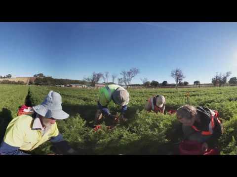 360 Carrot Picking - Video