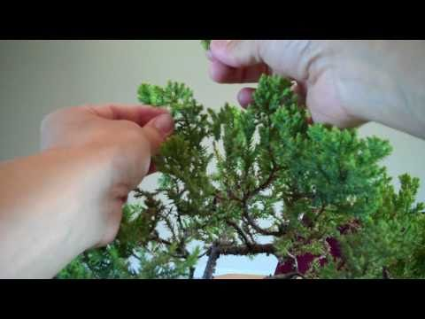 Juniper Bonsai Annual pruning and potting Part 2.mp4