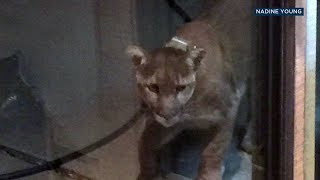 Mountain Lion Tries To Get Through Glass Door At Westlake Village Home , ABC7