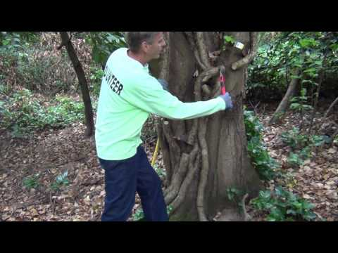 Steve Miesen shows How to Kill and Remove the Largest English Ivy Vines from Trees