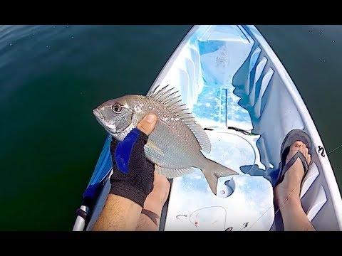 Insane Porgy(scup) bite Fishing Clams off the Kayak - Long Island, NY
