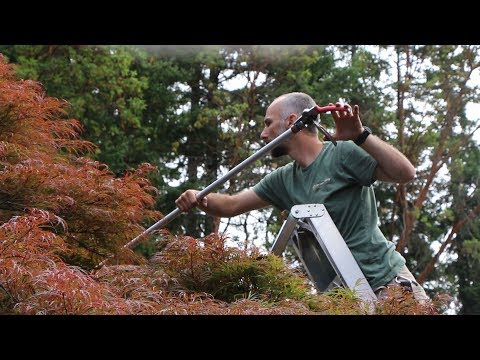 How to Prune in Summer: Laceleaf Japanese Maple