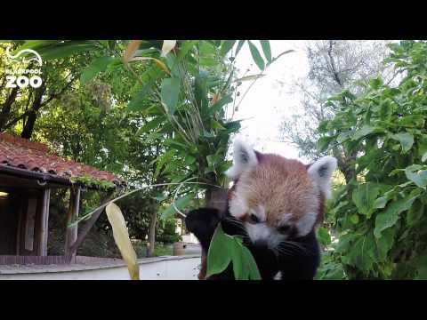 Red Panda + Bamboo