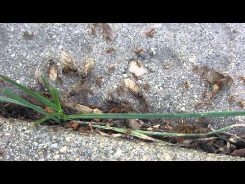 flying ants leaving the nest
