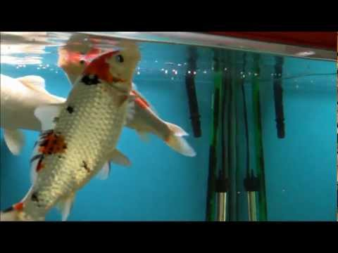 Hints on How to Feed Koi Fish