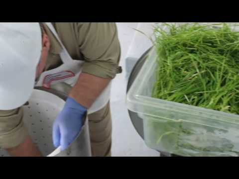 Wheat Grass Production