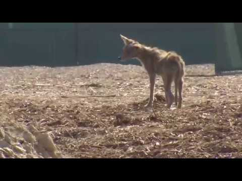Bakersfield residents dealing with new neighbors: coyotes