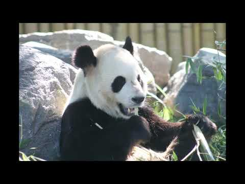 Giant Pandas at the Toronto Zoo photographed by Wendy Relf
