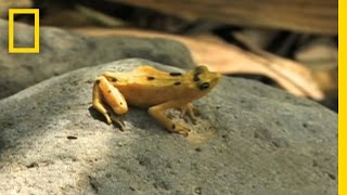 Download Frogs vs. Fungus | National Geographic Video