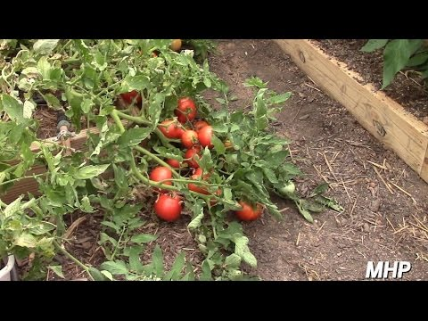 Hybrid Volunteer Tomatoes - Yes, You Can Save Hybrid Seeds