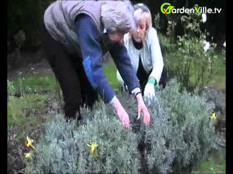 How to Prune Lavender