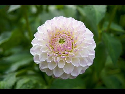 The Beauty Of Dahlia Flower For Your Garden