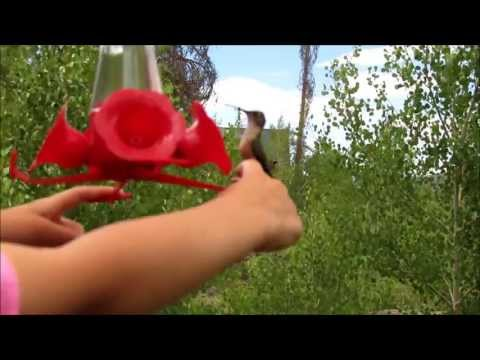 How to Feed Hummingbirds by hand - Pretty Amazing!