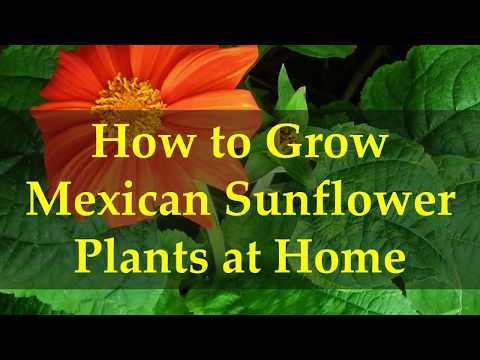 How to Grow Mexican Sunflower Plants at Home
