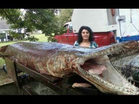 World's Biggest Gar Alligator