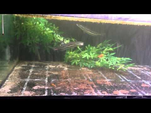 Micropeltes & feeders