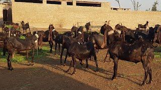 Kamori Goat Farming |Documentary