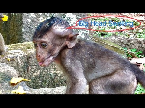 OMG! LORI's Head Has Big Swelling| What Will Happen Next With Tiny Poor Monkey Lori?